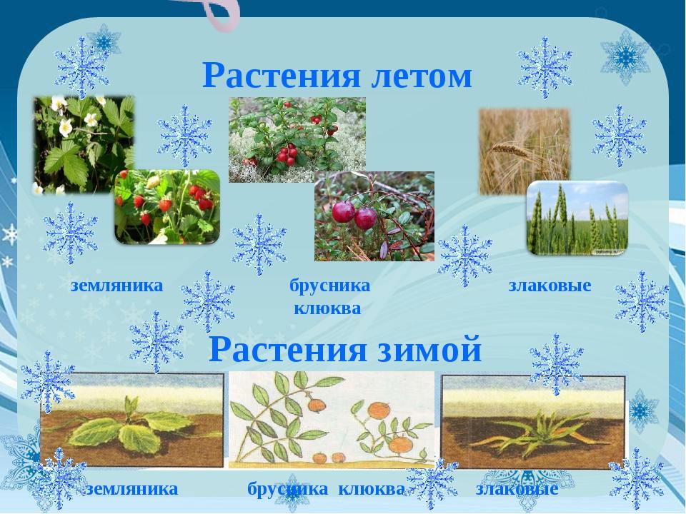 Растения летом земляника брусника клюква злаковые Растения зимой земляника бр...