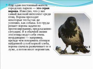 Еще один постоянный житель городских парков — это серая ворона. Известно, что