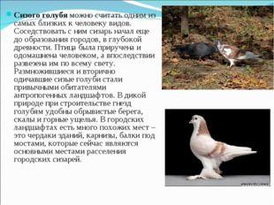 Сизого голубя можно считать одним из самых близких к человеку видов. Соседств