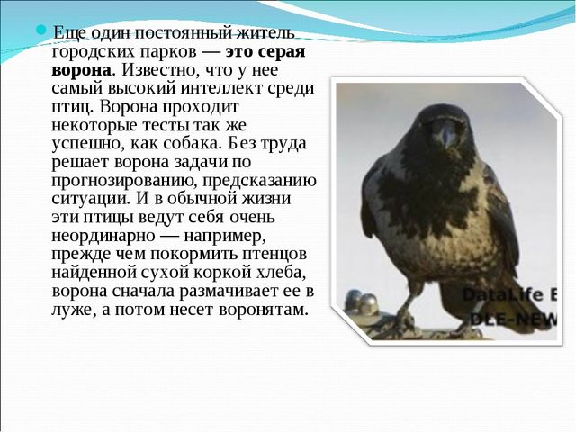 Еще один постоянный житель городских парков — это серая ворона. Известно, что...
