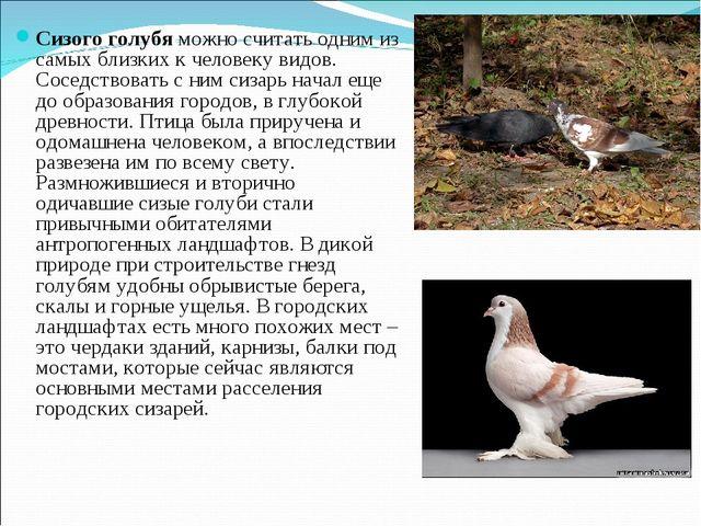 Сизого голубя можно считать одним из самых близких к человеку видов. Соседств...