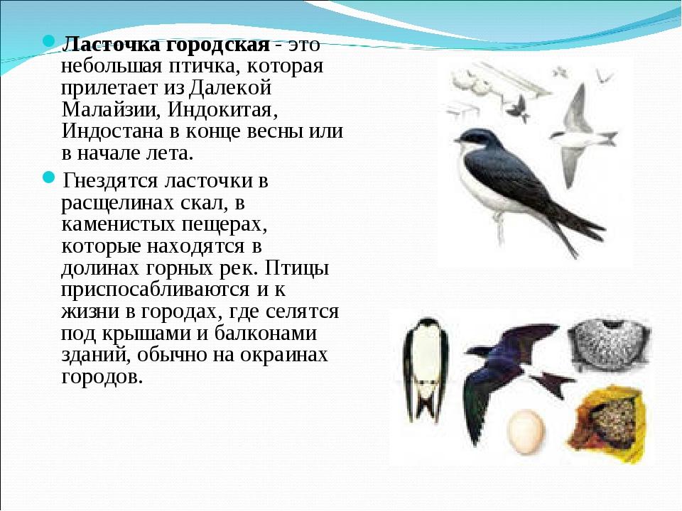 Ласточка городская - это небольшая птичка, которая прилетает из Далекой Малай...
