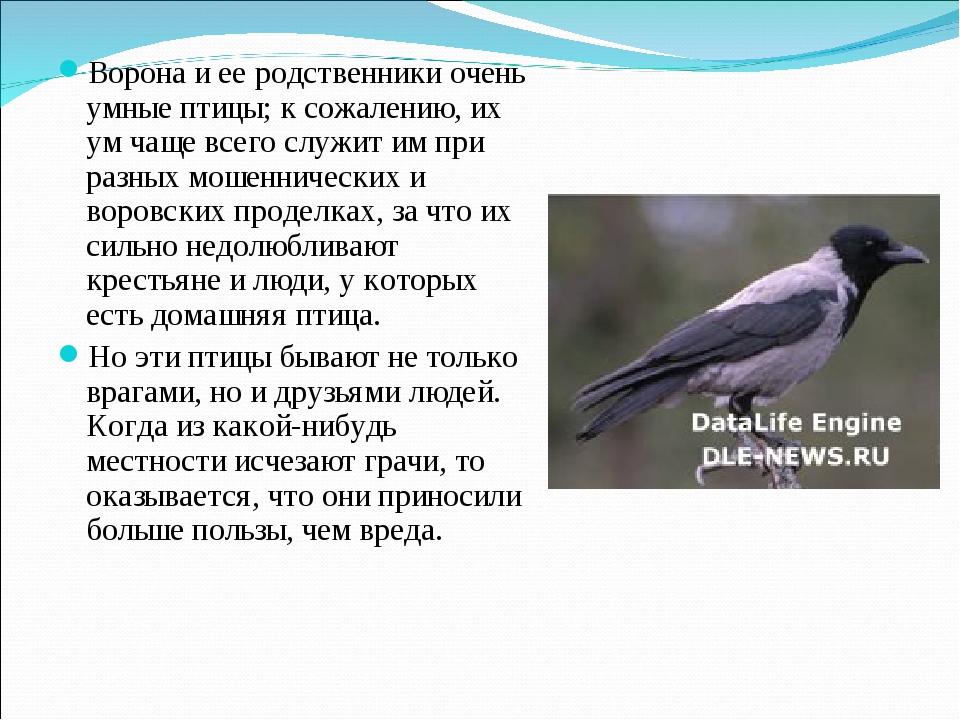 Ворона и ее родственники очень умные птицы; к сожалению, их ум чаще всего слу...