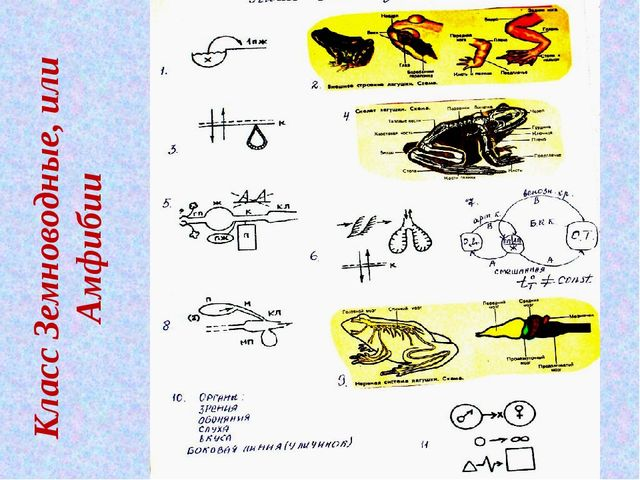 Класс Земноводные, или Амфибии