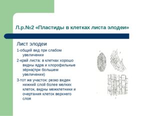 Л.р.№2 «Пластиды в клетках листа элодеи» Лист элодеи 1-общий вид при слабом у