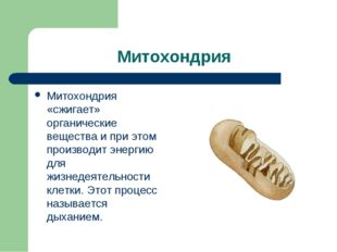 Митохондрия Митохондрия «сжигает» органические вещества и при этом производит