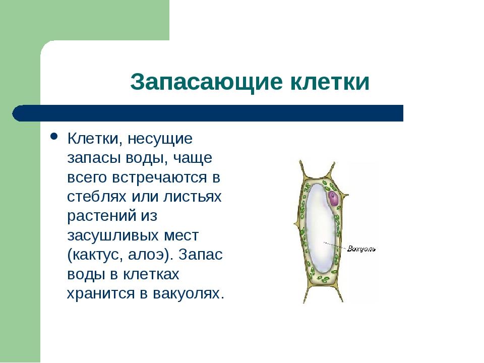 Запасающие клетки Клетки, несущие запасы воды, чаще всего встречаются в стебл...