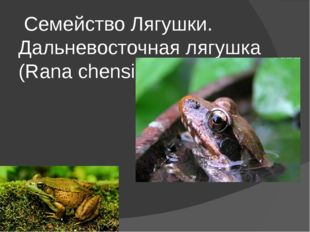 Семейство Лягушки. Дальневосточная лягушка (Rana chensinensis)