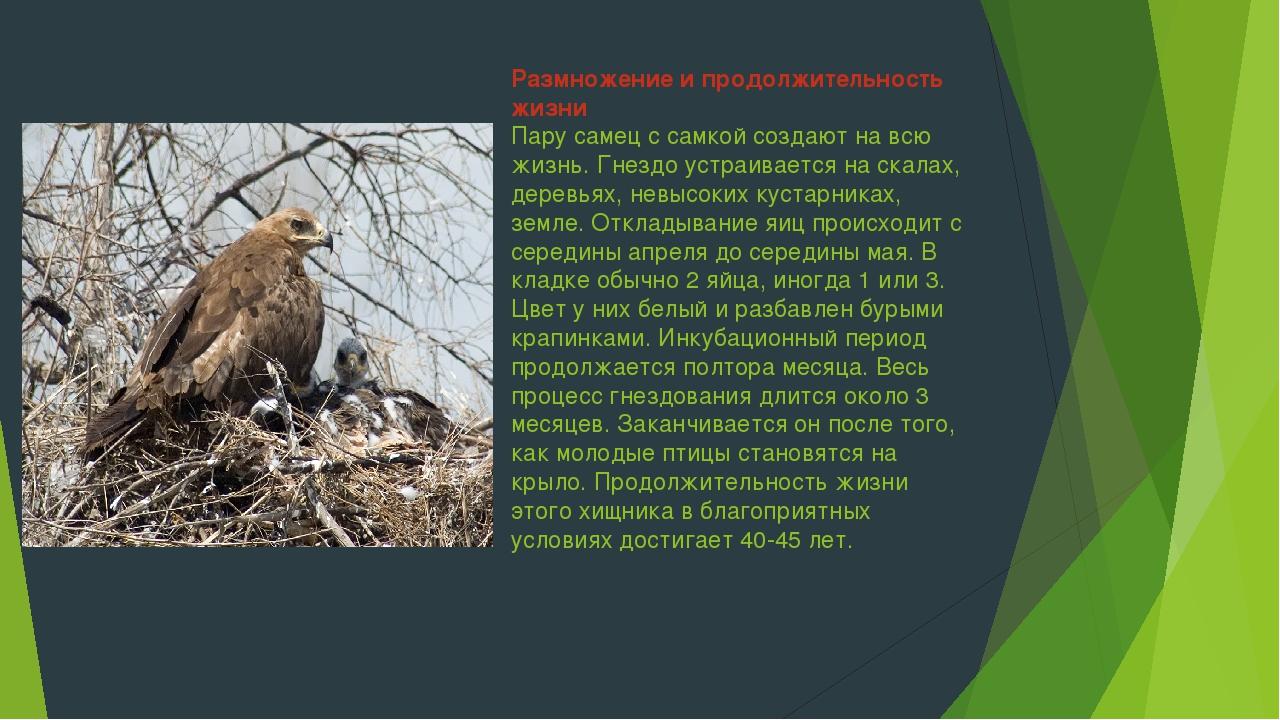 Размножение и продолжительность жизни Пару самец с самкой создают на всю жизн...