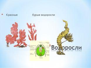 Красные бурые водоросли