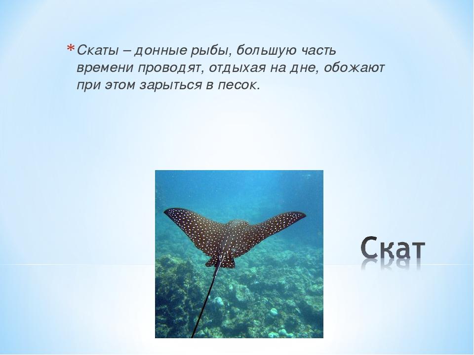 Скаты – донные рыбы, большую часть времени проводят, отдыхая на дне, обожают...