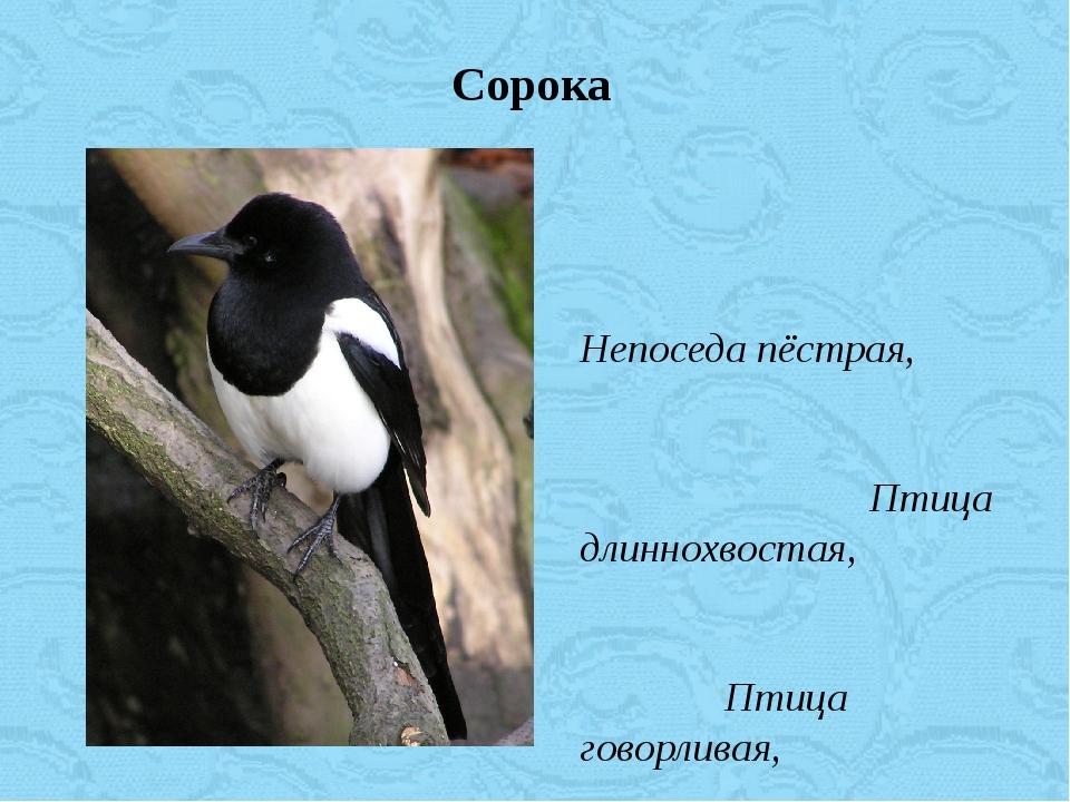 Непоседа пёстрая, Птица длиннохвостая, Птица говорливая, Самая болтливая. Сор...