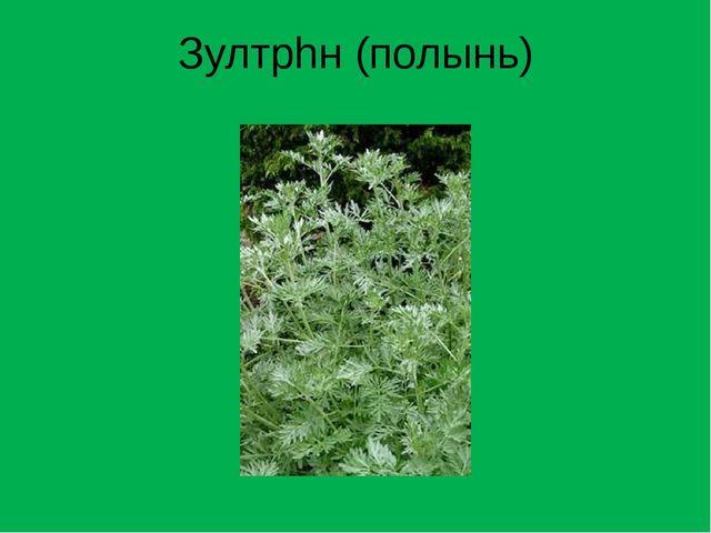 Зултрhн (полынь)