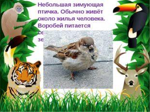 Небольшая зимующая птичка. Обычно живёт около жилья человека. Воробей питаетс