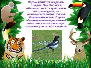 Сороки являются оседлыми птицами. Они обитают в небольших лесах, парках, сада