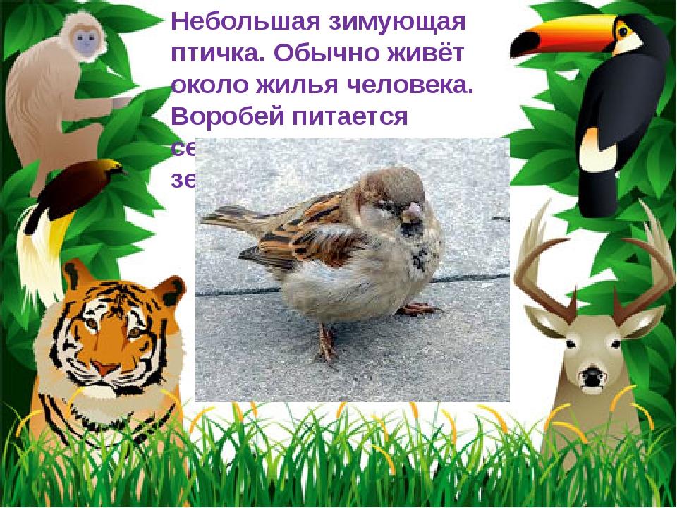 Небольшая зимующая птичка. Обычно живёт около жилья человека. Воробей питаетс...
