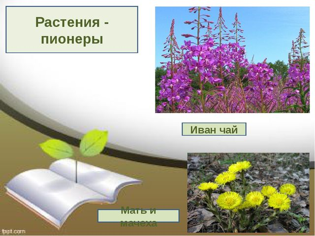 Растения - пионеры Иван чай Мать и мачеха