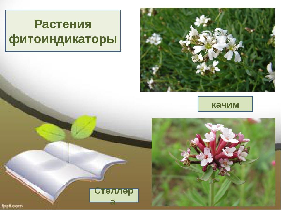 Растения фитоиндикаторы качим Стеллера