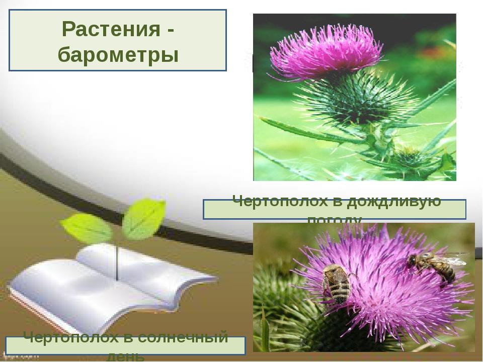 Растения - барометры Чертополох в дождливую погоду Чертополох в солнечный день