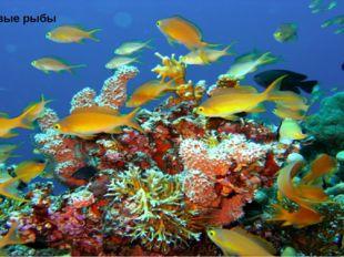 Коралловые рыбы