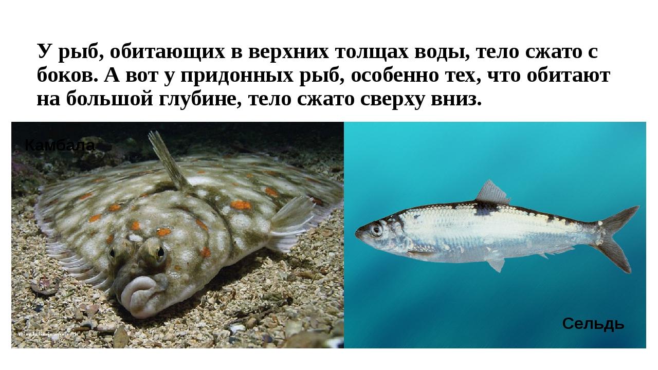 У рыб, обитающих в верхних толщах воды, тело сжато с боков. А вот у придонных...
