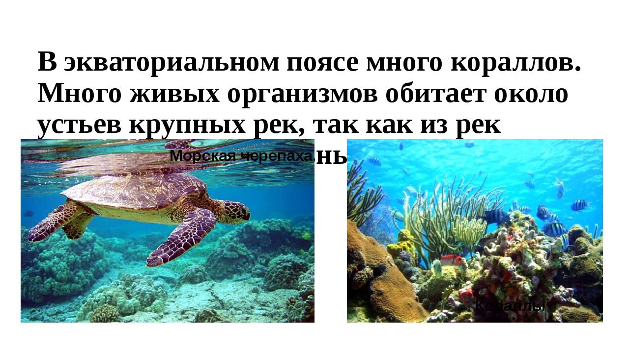 В экваториальном поясе много кораллов. Много живых организмов обитает около у...