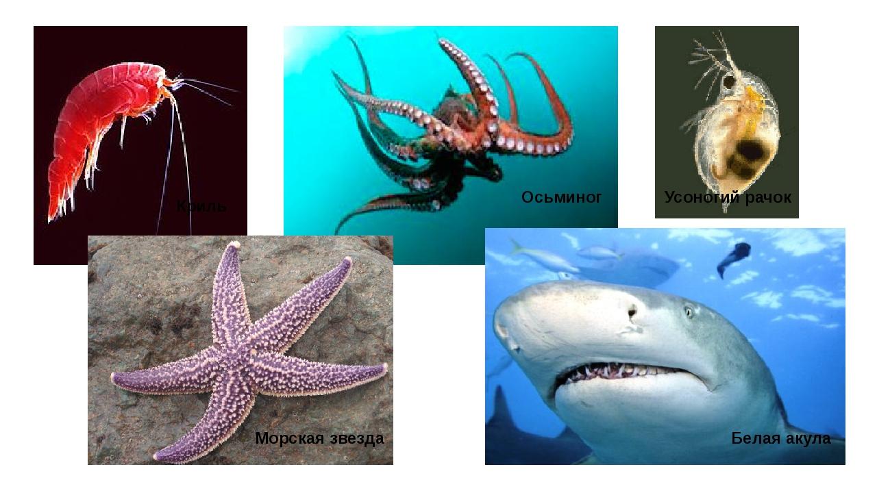 Осьминог Морская звезда Белая акула Усоногий рачок Криль