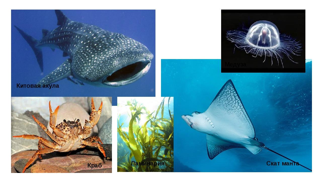 Китовая акула Медуза Краб Скат манта Ламинария