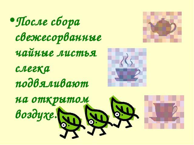 После сбора свежесорванные чайные листья слегка подвяливают на открытом возду...