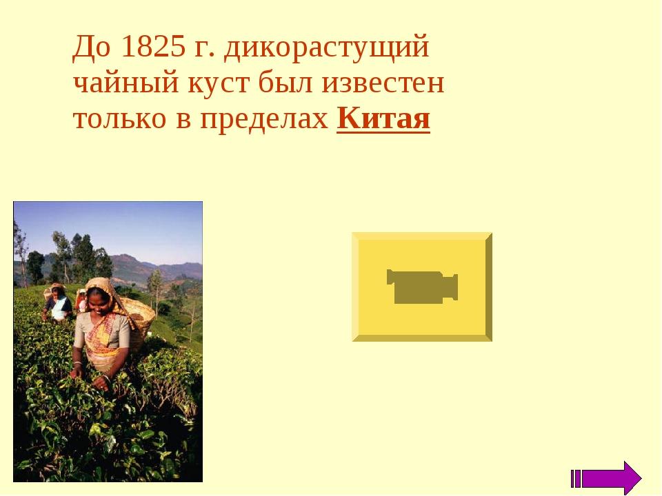 До 1825 г. дикорастущий чайный куст был известен только в пределах Китая