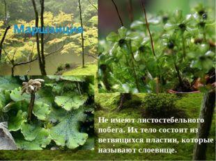 Неимеют листостебельного побега. Их тело состоит из ветвящихся пластин, кото