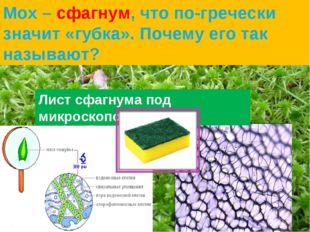 Лист сфагнума под микроскопом Мох – сфагнум, что по-гречески значит «губка».
