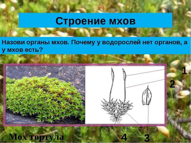 Строение мхов Назови органы мхов. Почему у водорослей нет органов, а у мхов е...