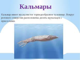 Кальмары Кальмар имеет мускулистое торпедообразное туловище. Вокруг ротового