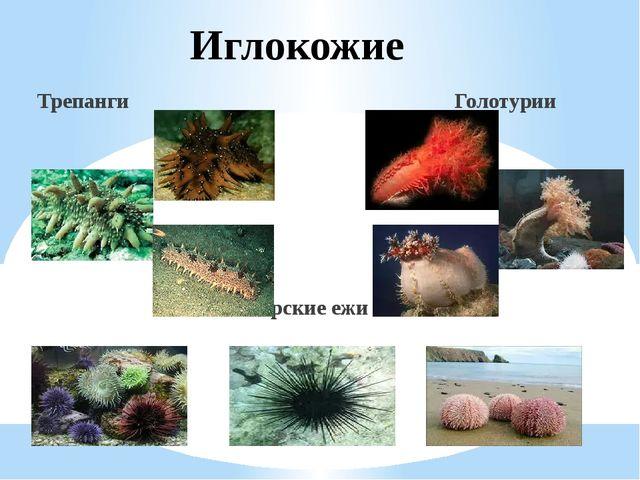 Иглокожие Трепанги Голотурии Морские ежи