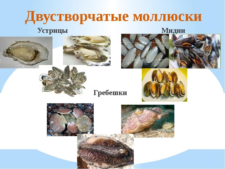 Двустворчатые моллюски Устрицы Мидии Гребешки