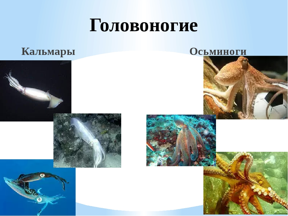 Головоногие Кальмары Осьминоги
