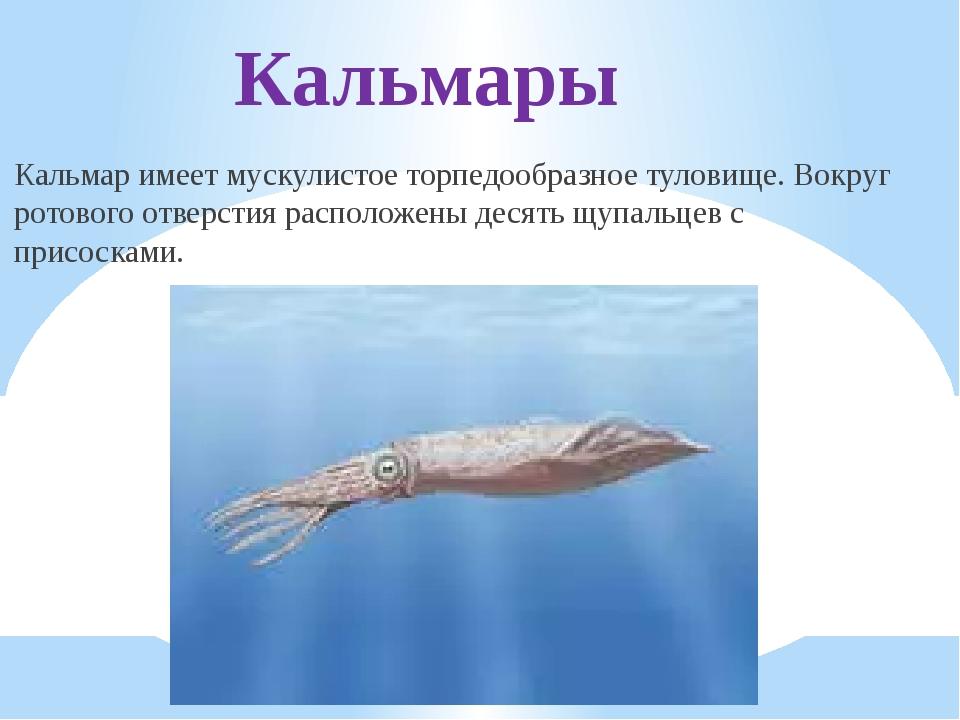 Кальмары Кальмар имеет мускулистое торпедообразное туловище. Вокруг ротового...