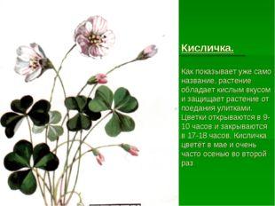 Кисличка. Как показывает уже само название, растение обладает кислым вкусом и