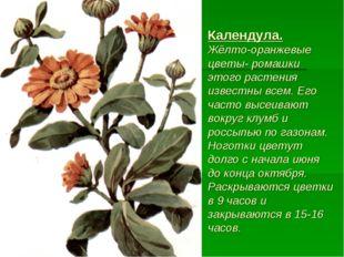 Календула. Жёлто-оранжевые цветы- ромашки этого растения известны всем. Его ч