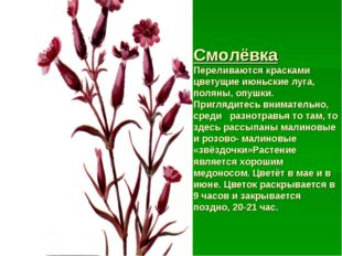 Смолёвка Переливаются красками цветущие июньские луга, поляны, опушки. Пригля