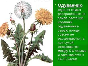 Одуванчик-одно из самых распранённых на земле растений. Корзинки одуванчика в