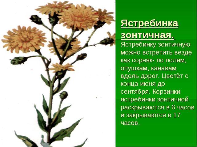 Ястребинка зонтичная. Ястребинку зонтичную можно встретить везде как сорняк-...