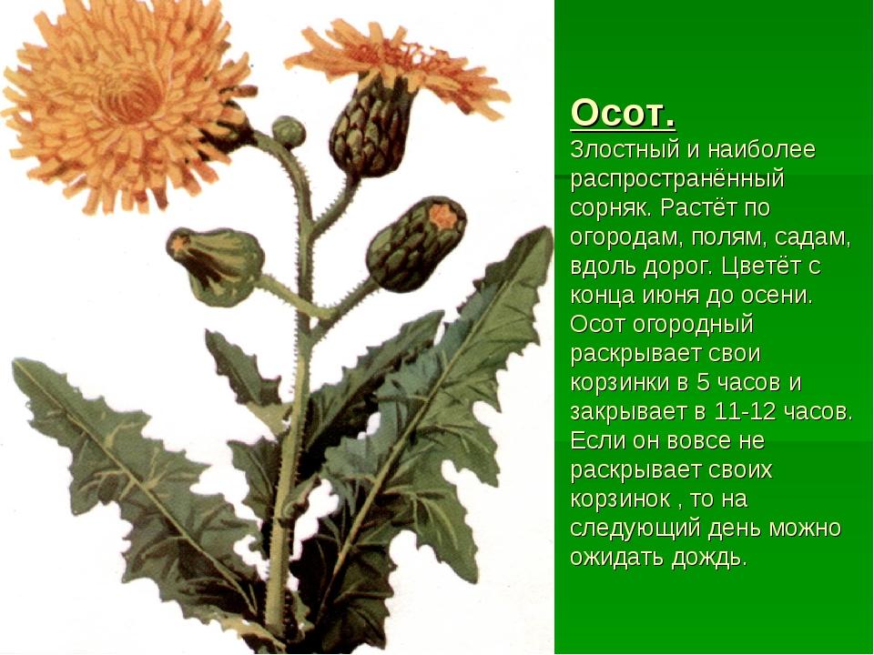 Осот. Злостный и наиболее распространённый сорняк. Растёт по огородам, полям,...