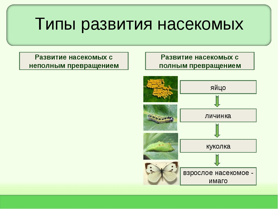 Типы развития насекомых яйцо личинка взрослое насекомое - имаго куколка Разви...