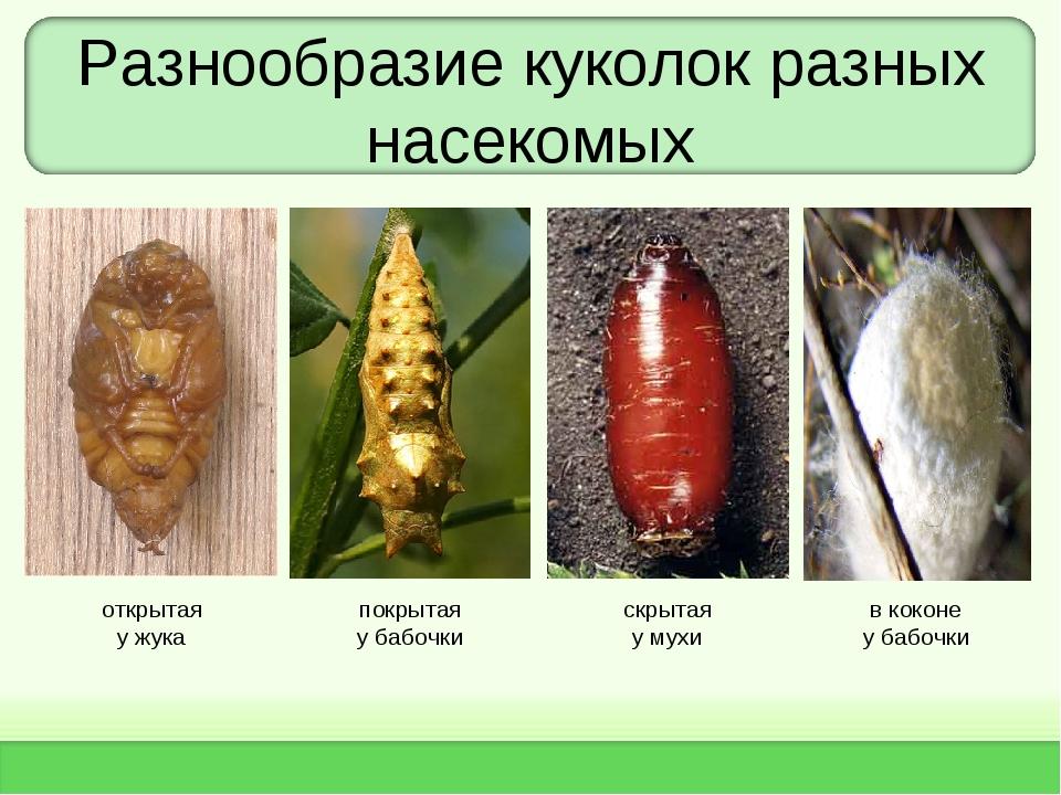 Разнообразие куколок разных насекомых открытая у жука покрытая у бабочки скры...