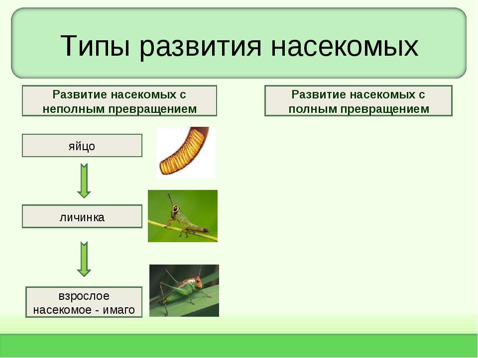 Типы развития насекомых яйцо личинка взрослое насекомое - имаго Развитие насе...