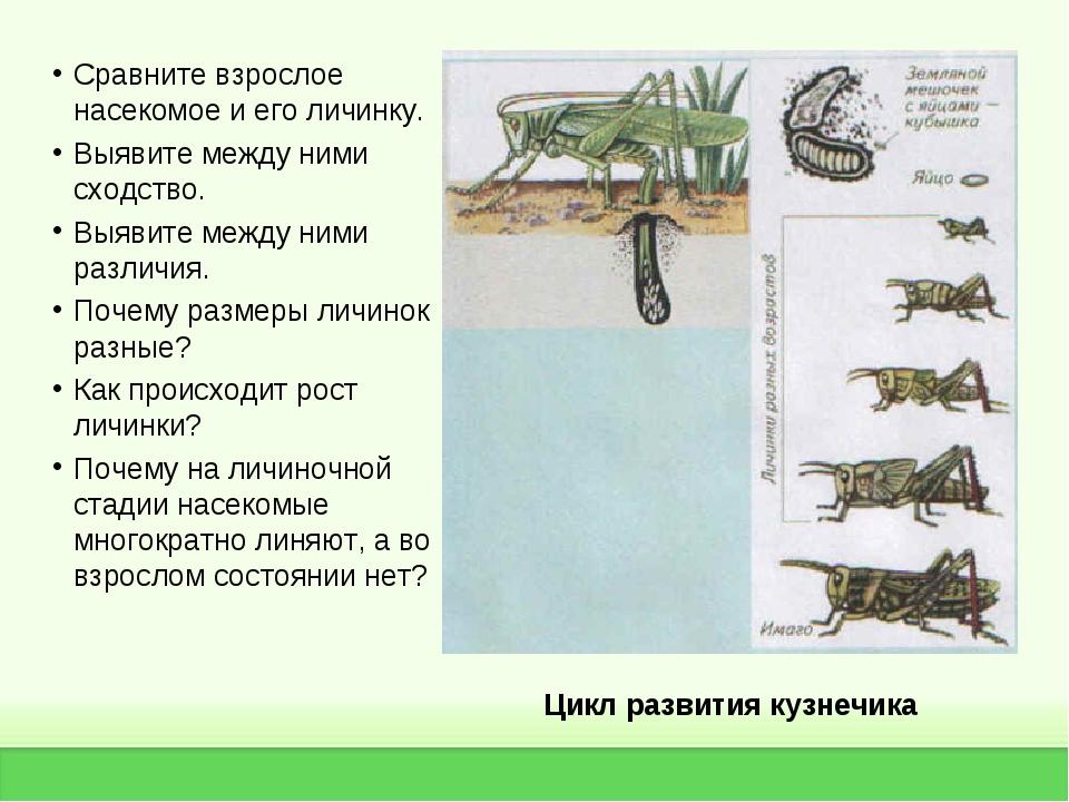 Цикл развития кузнечика Сравните взрослое насекомое и его личинку. Выявите ме...