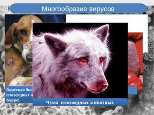 Многообразие вирусов Болезни животных: Ящур Инфекционная анемия лошадей Чума