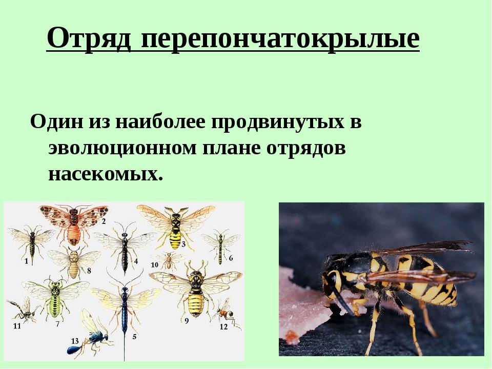 Отряд перепончатокрылые Один из наиболее продвинутых в эволюционном плане отр...